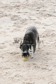 Medium schnauzer on beach, head down about to pick up a ball.