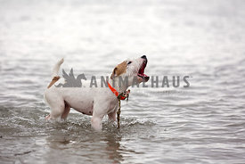 A terrier barking while standing in water