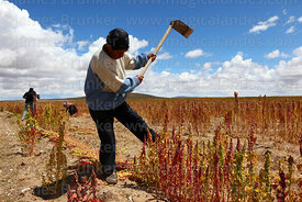 Man demonstrating technique of cutting quinoa plants with a hoe by hand, Oruro Department, Bolivia