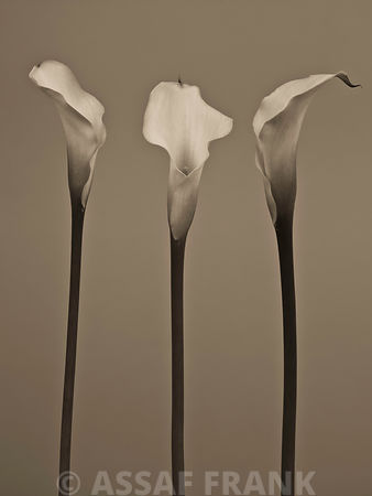 Three Calla Lily flowers