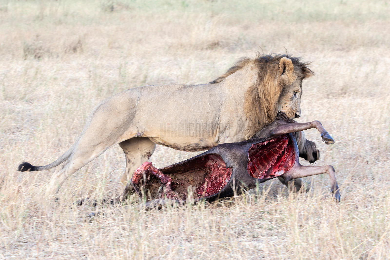 Portrait of a Male Lion Dragging a Wildebeest Carcass