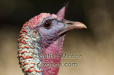 Wild Turkey, Rancho San Antonio Open Space Reserve, CA, USA
