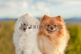 two pomeranians outside cuddled together