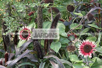 Association, Helianthus annuus MS Mars (soleil des jardins), Sunflower, Asteraceae, Pennisetum glaucum Purple Majesty (millet...