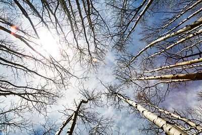 Looking Up on Tall Birch Trees