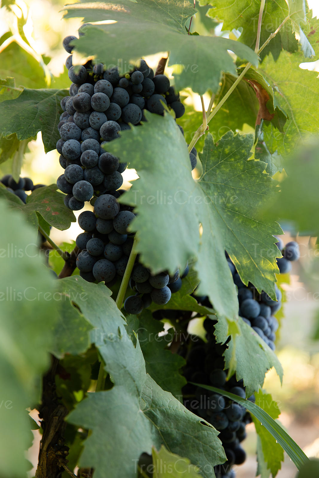 Ripe bunches of red grapes on vine