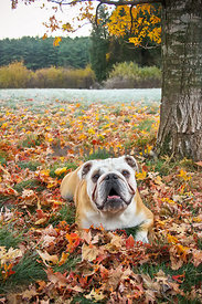 Bulldog laying under a tree in the fall