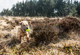 Boarder Terrier playing with ball in brown heather