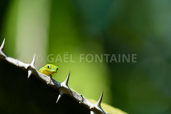Green Gecko in natural environnement