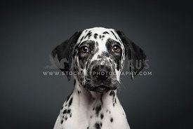 Dalmation puppy face on grey background