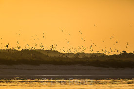 Sooty Terns and Brown Noddies at Dawn above Bush Key in Dry Tortugas National Park