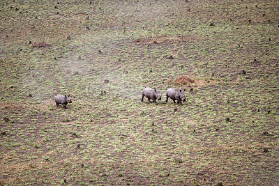 Aerial view of Northern white rhinoceros {Ceratotherium simum cottoni} taken from anti-poaching aircraft in 1989, Garamba NP,...