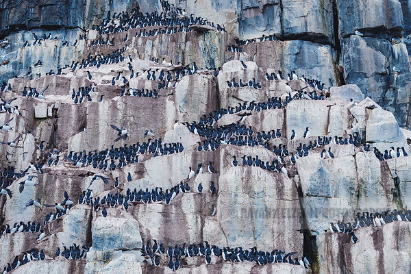 Brünnich's guillemots on the Alkefjellet bird cliff