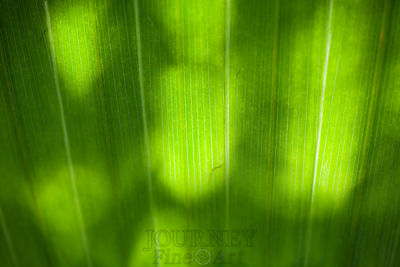 Dappled Light Fronds