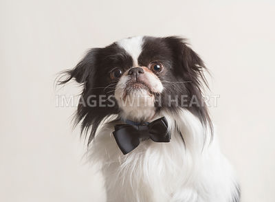 Dapper spaniel dog wearing a black bowtie