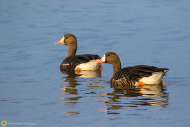 White Fronted Geese #5