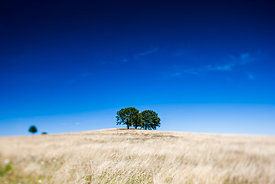 Two trees in a field, Auvergne