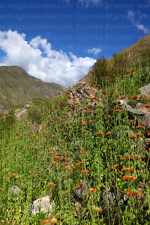 Leonotis nepetifolia flowers growing in Sacred Valley near Ollantaytambo, Peru