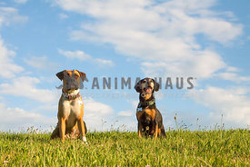 Boxer and terrier mix sitting on a hillside with blue sky background