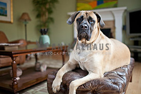 english mastiff laying on leather chair with frown