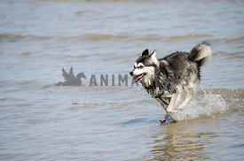 A mini Siberian Husky sprints along the water at low tide