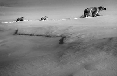 8840-Polar_bear_with_cubs_Baffin_Island_Canada_2016_Laurent_Baheux