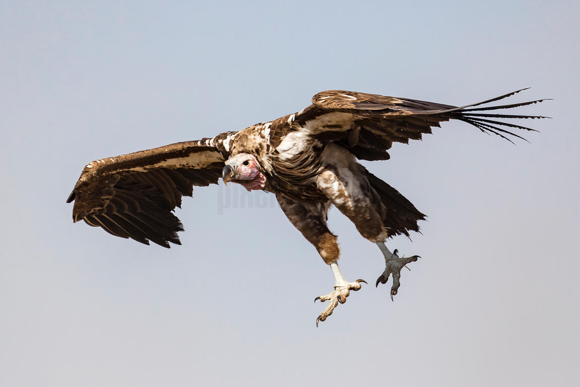 Lappet Faced Vulture Coming in to Land