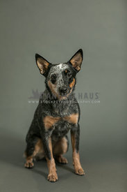 cattledog on gray  seamless background