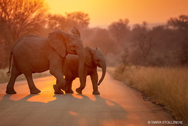 African Elephant, KNP, South Africa