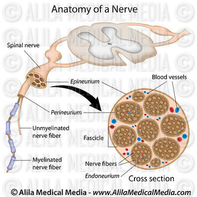Anatomy of a nerve, labeled.