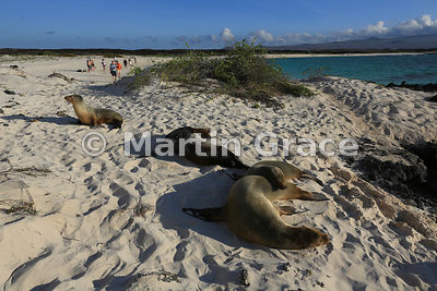 Two Galapagos Sea Lion cows (Zalophus californianus wollebacki or wollebaeki) with their pups on the beach at Cerro Brujo and...