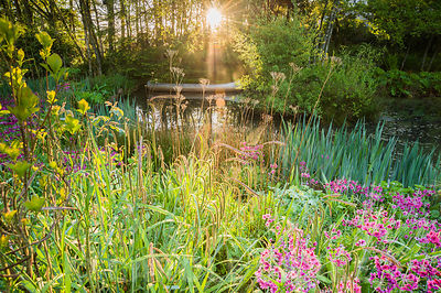 Dawn sunlight breaks through mist and trees above the pond with moored canoe, surrounded by magenta Primula pulverulenta, Car...