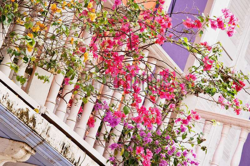 Bougainvillea Plants on Colonial Style Balconies