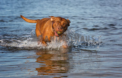 Pitbull mixed breed fetching a rock from the water at the beach