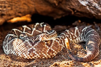 Dangerous South American Rattlesnake By Rock