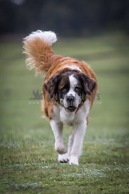 Saint Bernhard dog walking on grassy field