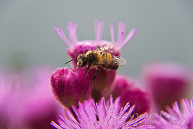 Closeup of a bumble bee with dew on its wings resting on a pink flower