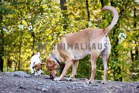 Jack Russell Terrier and Yellow Lab sniffing the ground in the woods