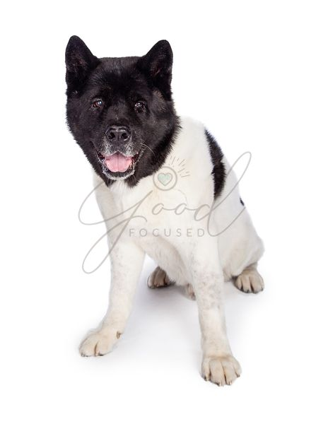 Black Mask Akita Sitting Over White Background