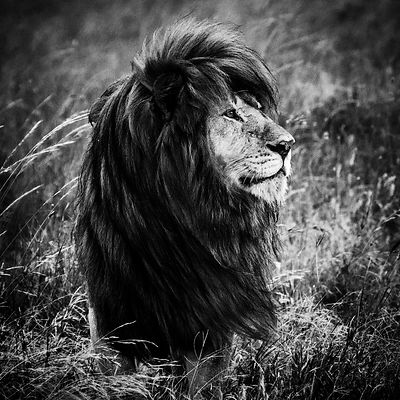 09433-The_black_maned_lion_1_Tanzania_2018_Laurent_Baheux