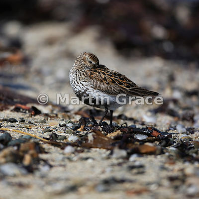 Dunlin (Calidris alpina) roosting with its eye open, Bigton Wick, Mainland South, Shetland