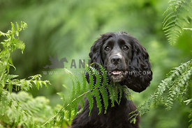Black Cocker Spaniel peeking through some green fern leaves