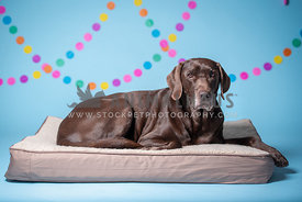 older chocolate lab laying on dog bed with colorful decorations in the background