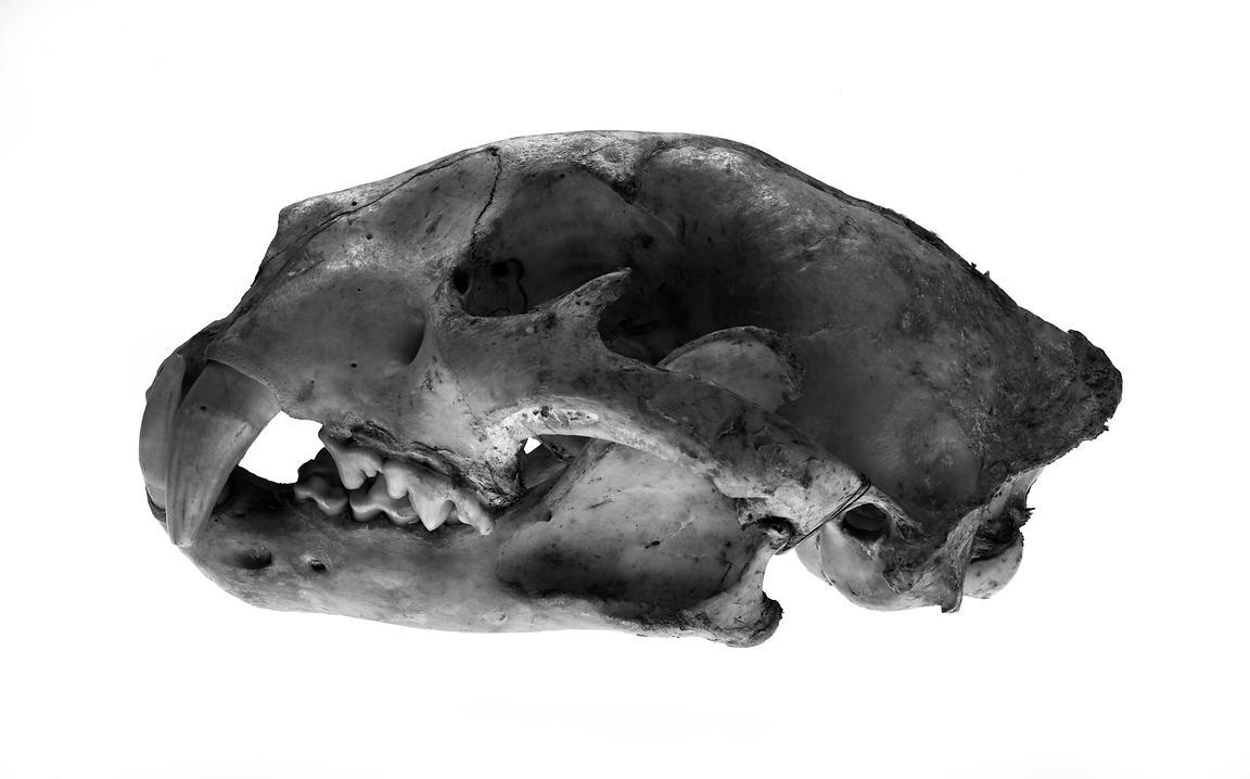 Michael freeman photography 20338 2953 jaguar skull