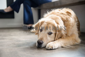 Golden Retriever waiting