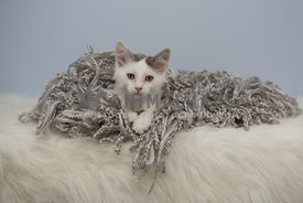 White cat entangled in fabric
