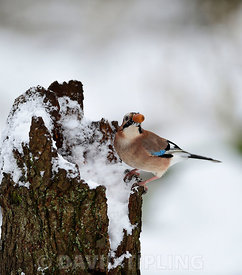 Eurasian Jay Garrulus glandarius collecting acorns Norfolk winter