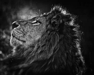 2099-Lion_portrait_Laurent_Baheux
