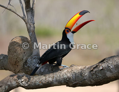 Toco Toucan (Common Toucan, Giant Toucan) (Ramphastos toco) tossing a small food item back into its throat prior to swallowin...