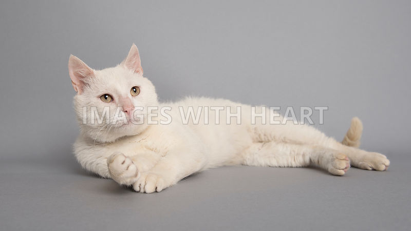 White cat laying on side looking into distance